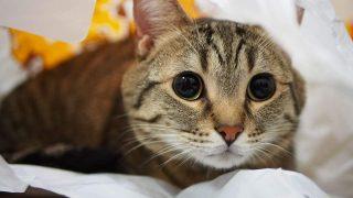 短足猫を愛でる会について